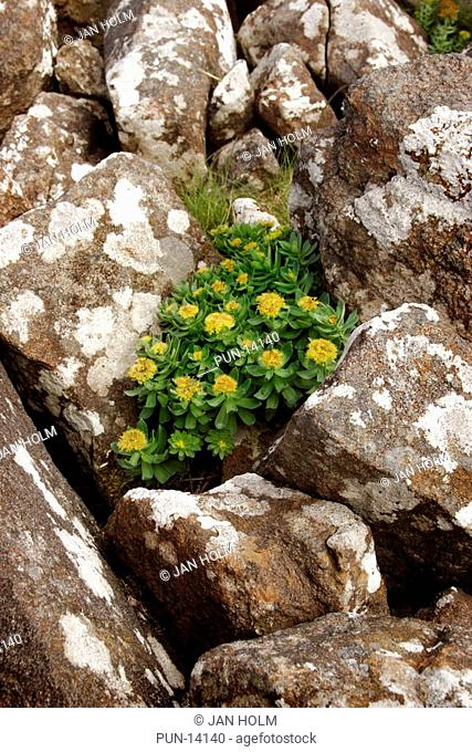 Roseroot Rhodiola rosea on Isle of Skye, Scotland