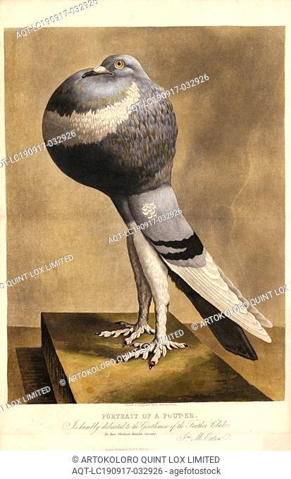 Columba domestica var. gutturosa anglica, Print, 1852
