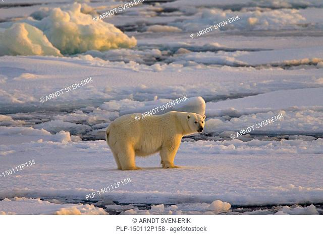 Polar bear (Ursus maritimus / Thalarctos maritimus) walking on pack ice at sunset, Svalbard, Norway