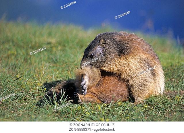 Young Alpine Marmot grooming