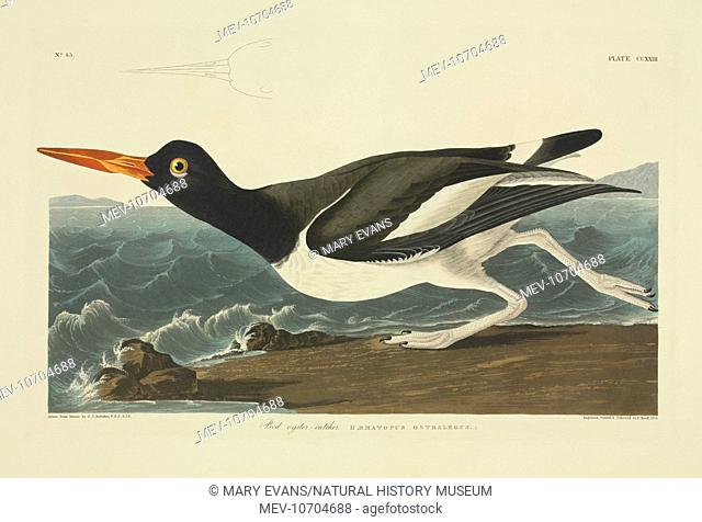 Plate 223 from John James Audubon's Birds of America, original double elephant folio (1834-35), hand-coloured aquatint. Engraved, printed and coloured by R