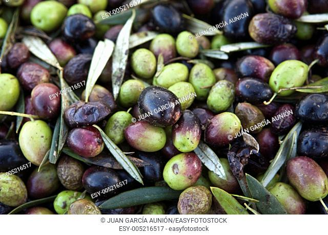 Loads of green and purple olive fruits, Badajoz, Spain