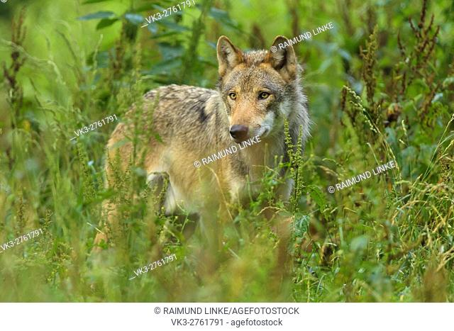 European Gray Wolf, Canis lupus lupus, Germany