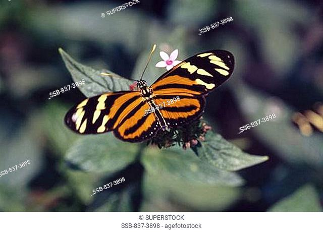 Isabella Tiger butterfly Eueides isabella pollinating flowers