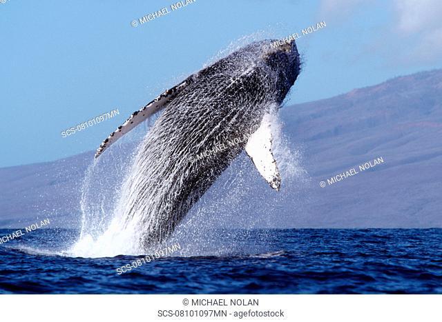 Adult humpback whale breaching in the AuAu Channel, Maui, Hawaii, USA