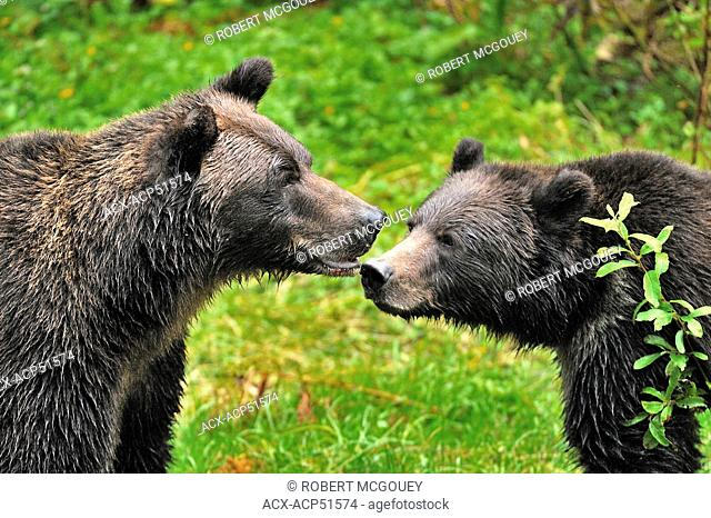 A close up image of a wild adult female grizzly bear Ursus arctos scolding her juvenile cub at Fish Creek in the Tongass National Forest of south west Alaska U