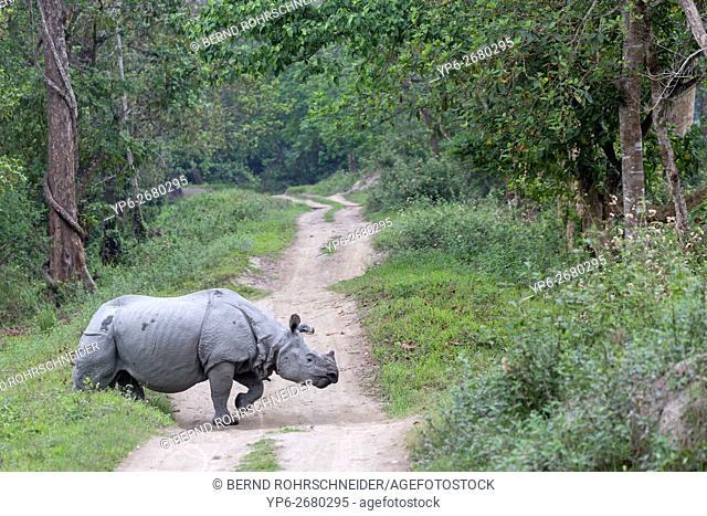 Indian rhinoceros (Rhinoceros unicornis) crossing forest track, threatened species, Kaziranga National Park, Assam, India
