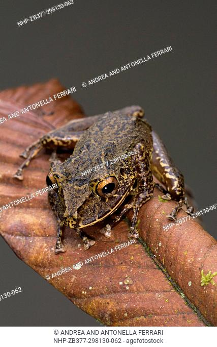 Labiated Rainfrog Pristimantis labiosus, Andean cloud forest, Mashpi Lodge and Private Nature Reserve, Chocò, Ecuador