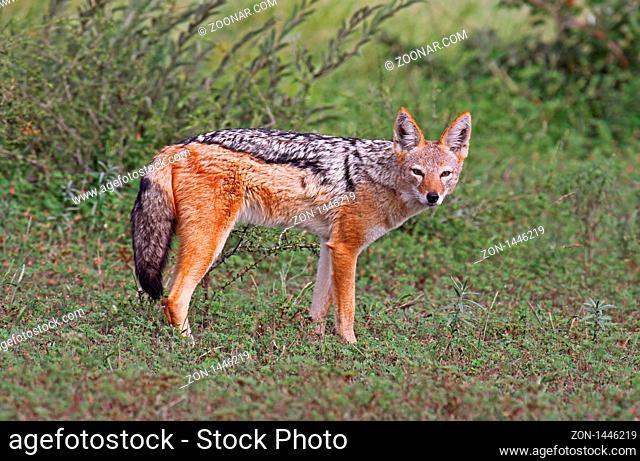 Schabrackenschakal, black-backed Jackal, Canis mesomelas, Südafrika, Kruger Nationalpark, wildlife
