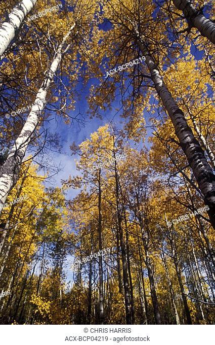 Aspen trees in autumn colour, Cariboo region, British Columbia, Canada