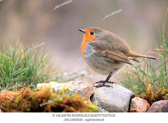 Robin (Erithacus rubecula) in the Alto Palancia region. Castellón. Spain