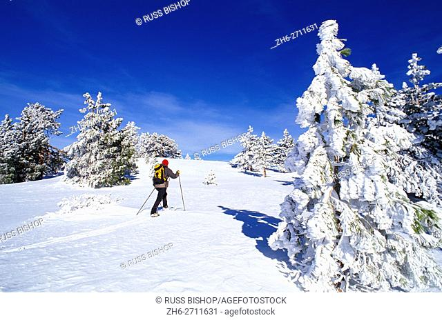 Backcountry skier and rime ice on Ponderosa pines at the summit of Mount Pinos, Los Padres National Forest, California USA
