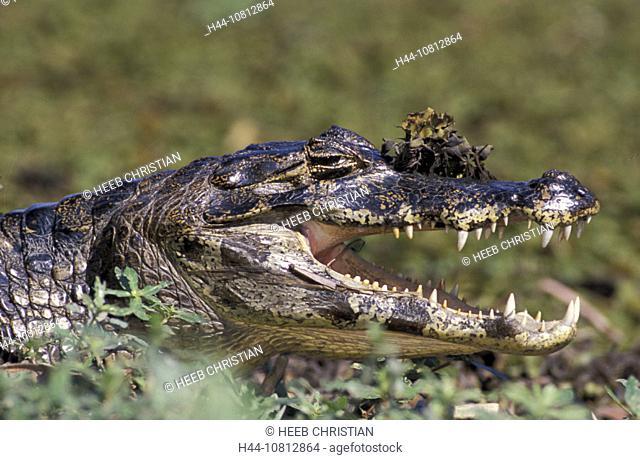 Caiman, Caiman crocodilus, Pantanal, South of Cuiaba, Mato Grosso, Brazil, South America, animal