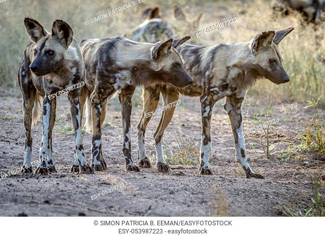 African wild dogs starring around in the Kruger National Park, South Africa
