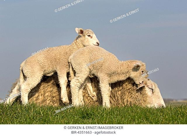 Domestic sheep with lambs, Westerheversand, Westerhever, Eiderstedt, North Frisia, Schleswig-Holstein, Northern Germany, Germany