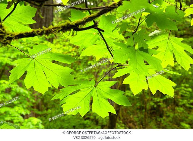 Bigleaf maple (Acer macrophyllum) leaf, McDowell Creek County Park, Linn County, Oregon