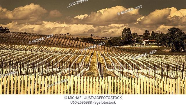 Rows of newly planted springtime grapevines at a vineyard near Paso Robles, California