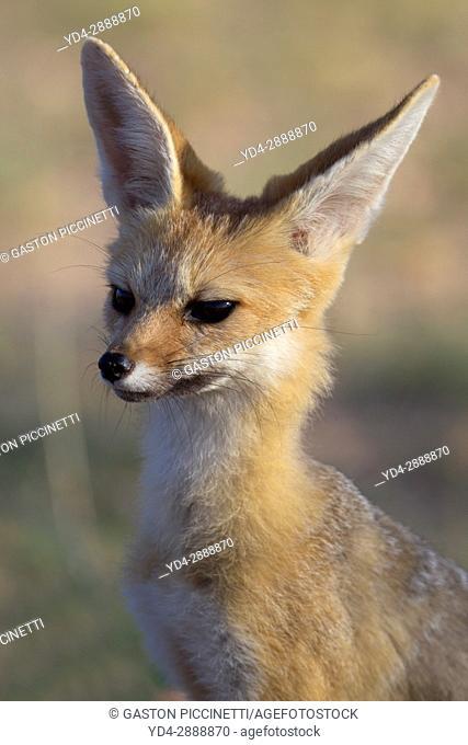 Cape Fox (Vulpes chama), Kgalagadi Transfrontier Park, Kalahari, South Africa