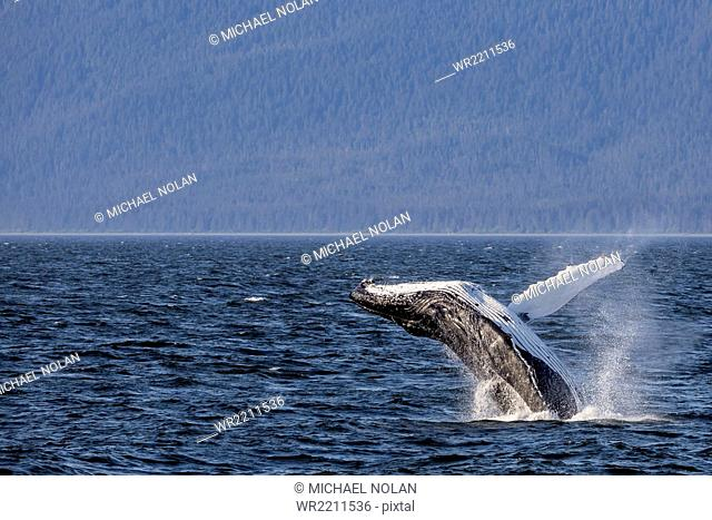 Mother humpback whale (Megaptera novaeangliae) breaching near her calf in Icy Strait, southeast Alaska, United States of America, North America
