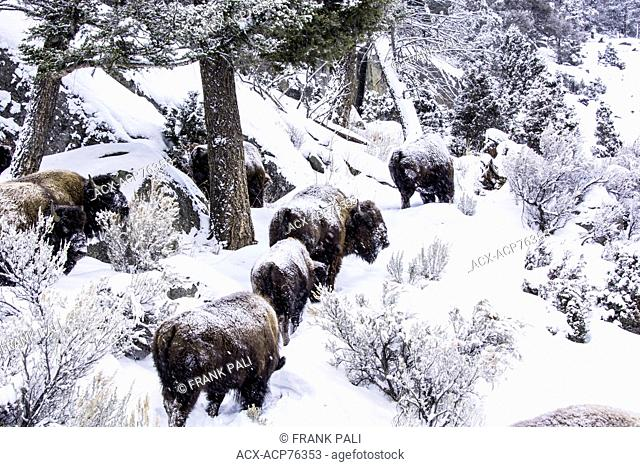 The American bison (Bison bison), Wildlife of Yellowstone Park at Lamar Valley Mammoth Falls , Wyoming USA
