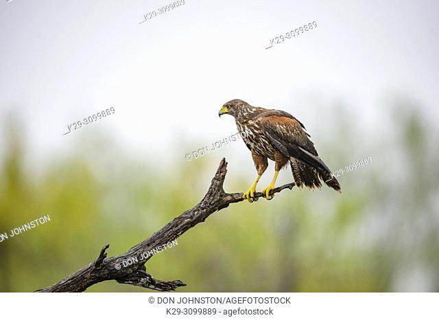 Harris' hawk (Parabuteo unicinctus), Santa Clara Ranch, Starr County, Texas, USA