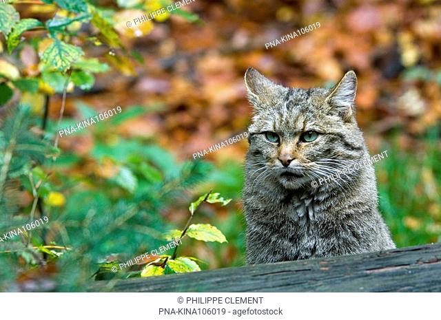 Wildcat Felis silvestris - Germany, Europe