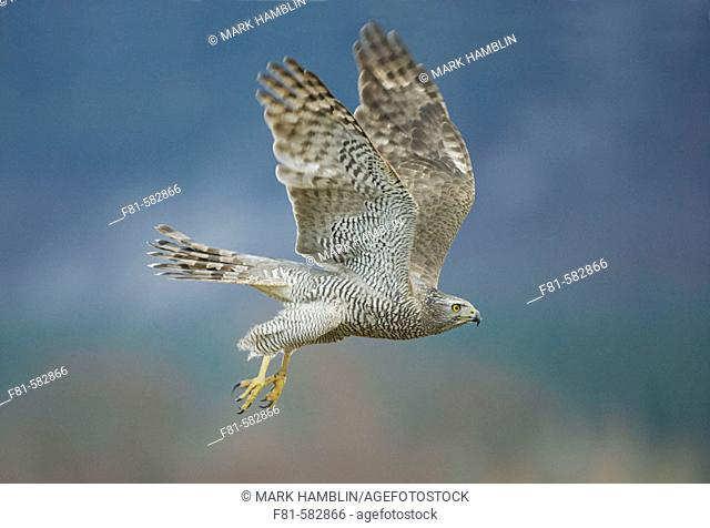 Goshawk (Accipiter gentilis) adult in flight. captive-bred. Scotland. March 2006