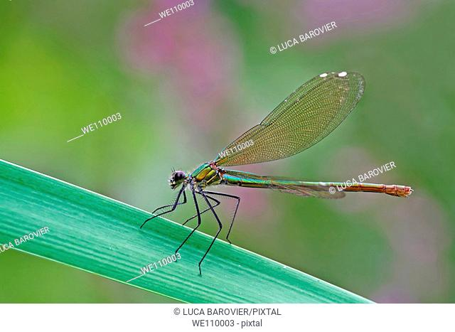 Calopteryx splendens - The perfect mechanism of natural flight