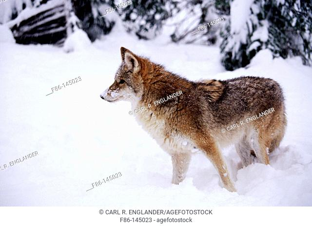 Coyote (Canis latrans), captive/controlled, male. USA