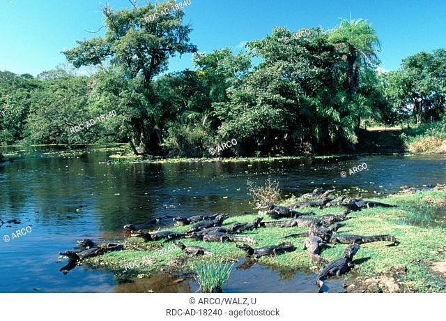 Paraguayan Caimans, Pantanal, Brazil, Caiman crocodilus yacare