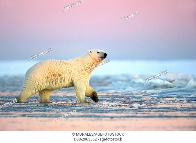 United States , Alaska , Arctic National Wildlife Refuge , Kaktovik , One sub adult polar bear in slush ice along a barrier island outside Kaktovik, Alaska