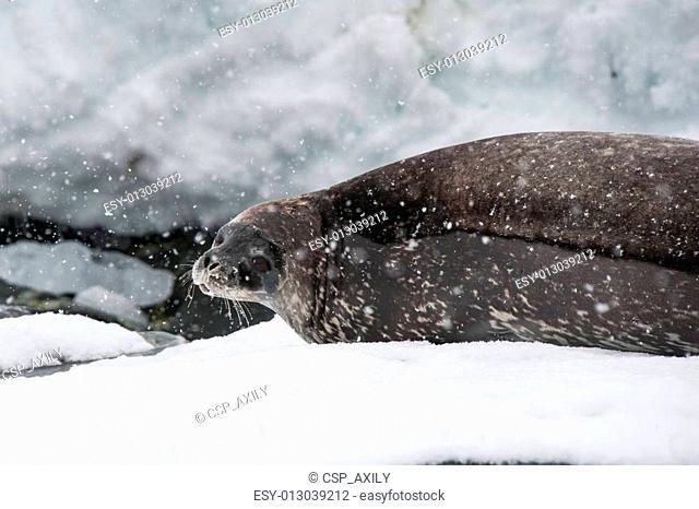 Weddell seal on the beach