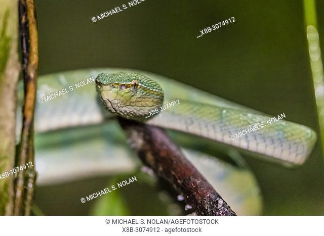 Bornean keeled green pit viper, Tropidolaemus subannulatus,Tanjung Puting National Park, Indonesia
