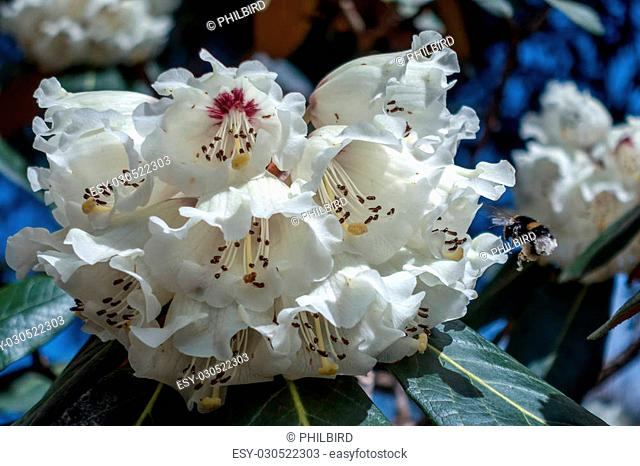 Bumble Bee Pollinating a White Rhododendron