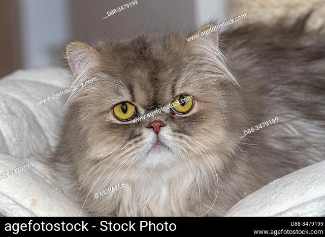 France, Alsace, Bas Rhin, Siamese cat, Domestic cat