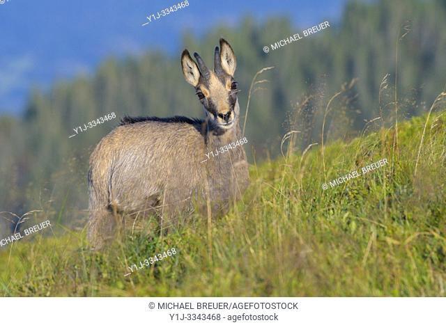 Chamois (Rupicapra rupicapra) in summer, Hohneck, Vosges, Alsace, France, Europe