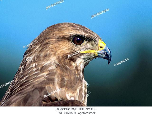 red kite (Milvus milvus), portrait, Germany