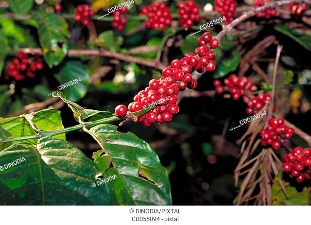 Coffee berries. Karnataka. India
