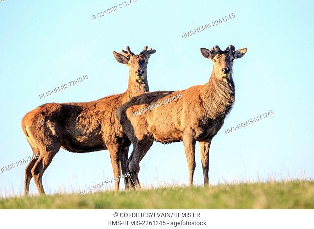 France, Haute Saone, Private park, Red Deer (Cervus elaphus), deer in velvet