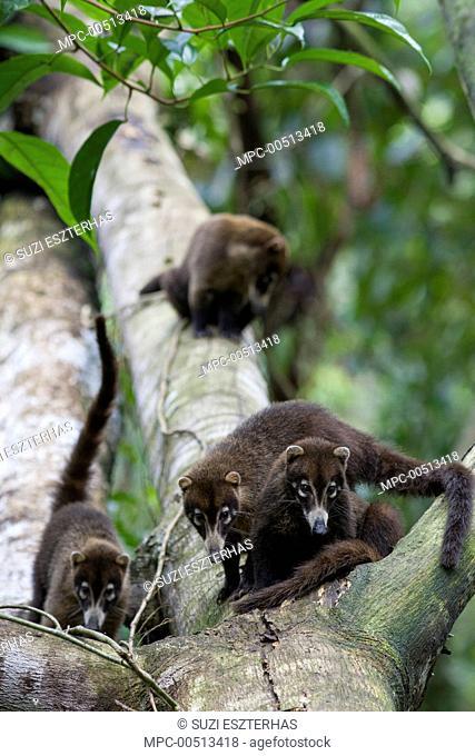 Coatimundi (Nasua nasua) group in tree, northern Costa Rica