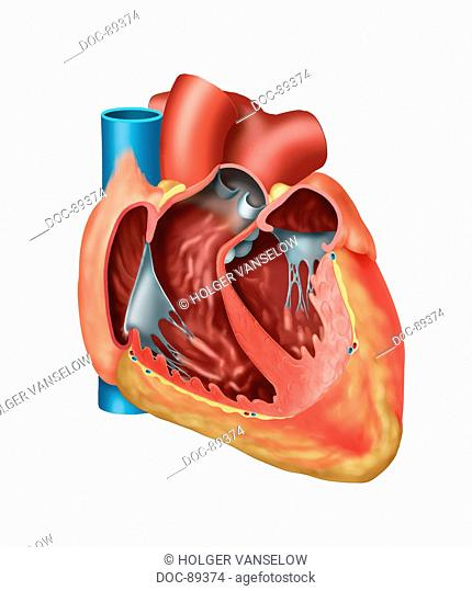 heart open , with all chambers, without Vv. pulmonales