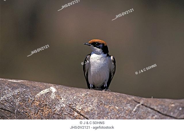 Wiretailed Swallow,Hirundo smithii,Chobe Nationalpark,Botswana,Africa,adult