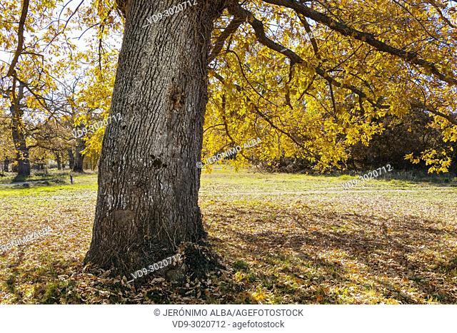 Nature, Oaks Forest. Autumn leaves and tree landscape. Las Merindades. Burgos, Castilla Leon Spain. Europe