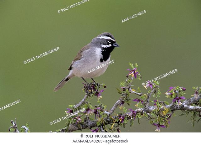 Black-throated Sparrow (Amphispiza bilineata) Adult on blooming Guayacan (Guaiacum angustifolium), Starr County, Rio Grande Valley, Texas, USA, April 2002