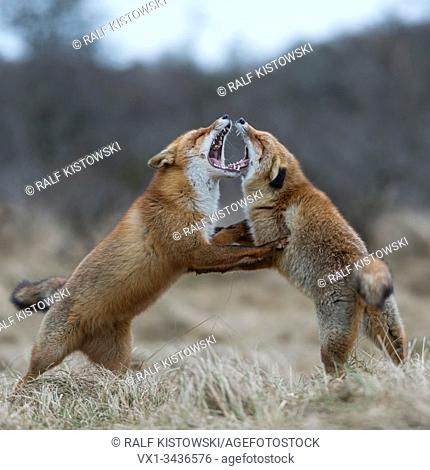 Red Fox ( Vulpes vulpes ), two adults, standing on hind legs, threatening each other with wide open jaws, territorial behavoir during rut, wildlife, Europe