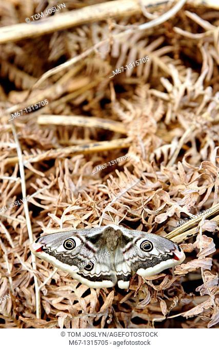 Emperor Moth Saturnia pavonia on bracken, Dartmoor , Devon , England , UK