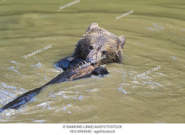 European Brown Bears, Ursus arctos, Cub swim in Pond, Bavaria, Germany