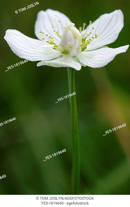 Grass of Parnassus Parnassia palustris in flower, Scotland, UK