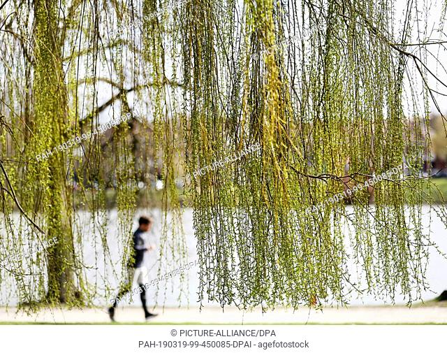 19 March 2019, North Rhine-Westphalia, Münster: A jogger walks under a weeping willow along the Aasee. Over the next few days