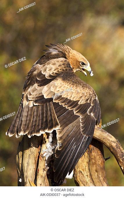 Booted Eagle (Hieraaetus pennatus) in Ávila (Spain)